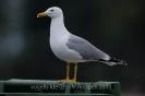 Mittelmeermöwe110427180858