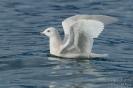 Polarmöwe130130120527