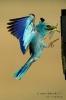 Blauracke130612174124