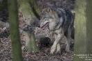 Wolf160202111516